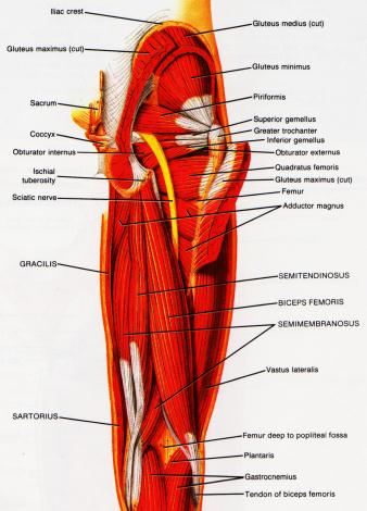 deeper-muscle-layers-back-view