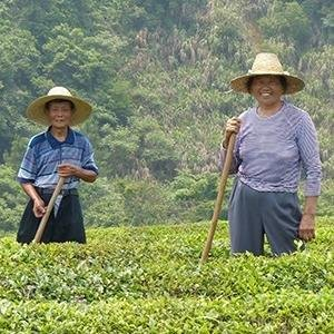 Chinese tea farmers